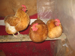 """The Girls"" fluffed up in the hen house"