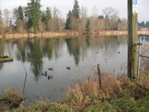 Ducks in Brydon Park Lagoon