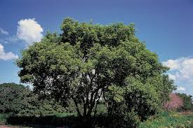 A Box Elder Tree