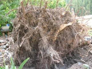 Root Ball of the Elder