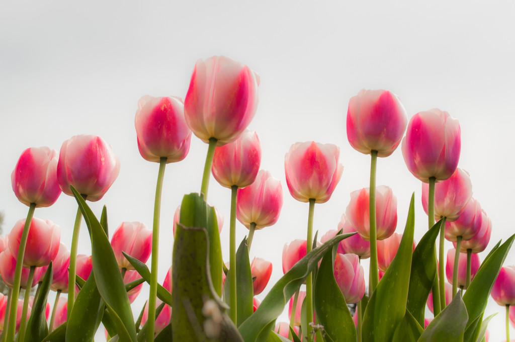 Pink Upshot by Terry Friesen