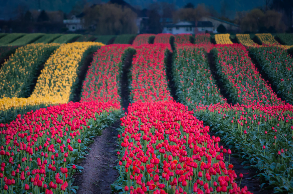 Waves of Tulips photo by Terry Friesen