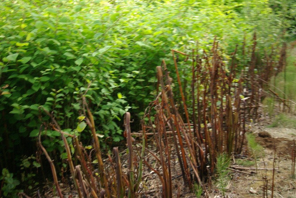 Japanese Knotweed plants after innoculation in foreground, healthy plants in background, photo by Joe Cindrich