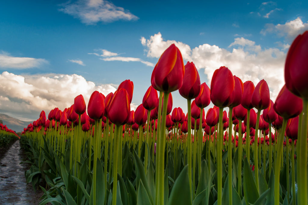 Up Tulips by Terry Friesen